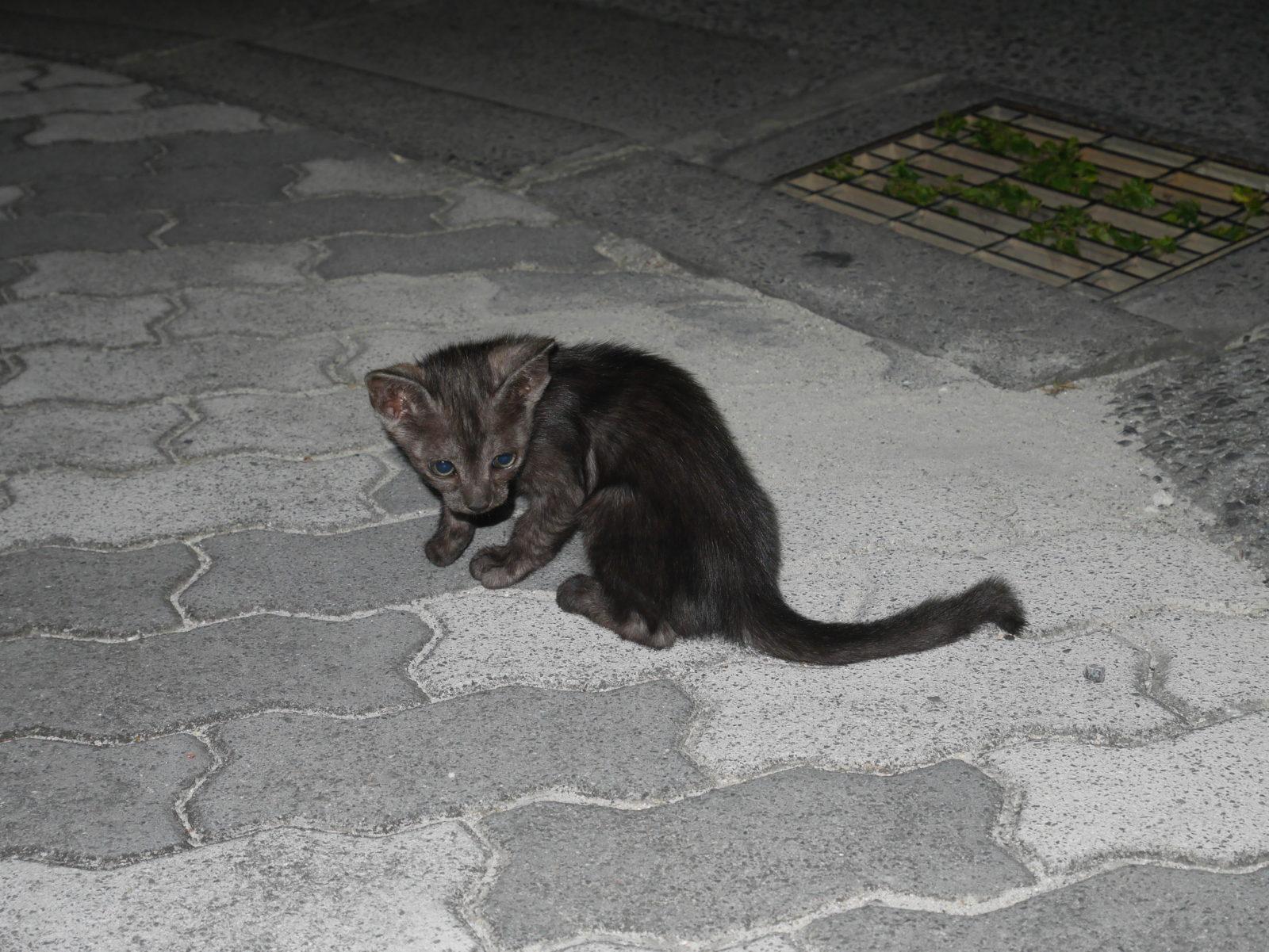 久米島の野良猫